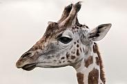 Young Giraffe Side Profile Head Shot