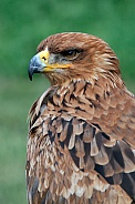 The Tawny Eagle