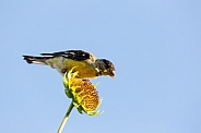 Lesser Goldfinch, Spinus psaltria
