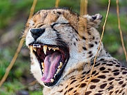 Cheetah Yawning Growling