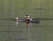 Red-necked Grebe with Chicks in Alaska