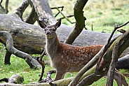 Red deer foal