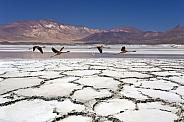 Flamingos - Atacama Desert - Chile