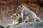 Pair of Snow Leopards