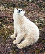 Wild Polar Bear Cub
