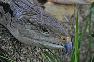 Blue-Tongued Skink