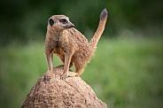Meerkat Full Body Tail Up