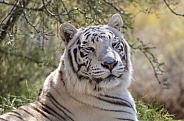 Close up of a white tiger resting