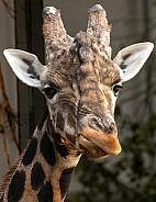 Giraffe Close Up Face Shot