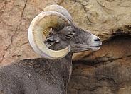 Big Horn Sheep - Ram