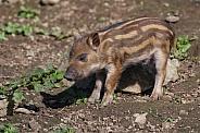 African Red River Hog