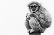 Lar Gibbon Full Body in Black and White