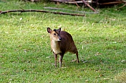 Young Reeves' muntjac