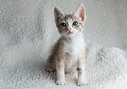 A Torti and white kitten