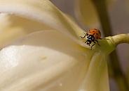 Coccinellidae, ladybug