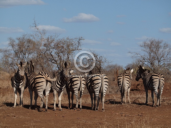 Burchell's (Plains) Zebras