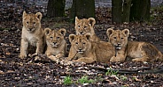 Five African lion cubs