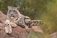 Snow Leopard Lying On Rocks