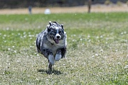 Australian shepherd during a fast cat lure event