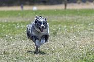 Australian shepherd during a fast cat lure event