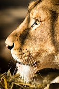 Lion very close up