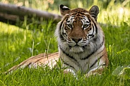 Amur Tiger Lying Down In The Grass