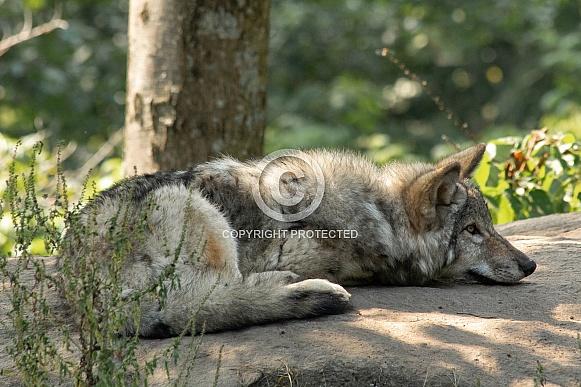 Grey Wolf Pup