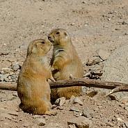 Prairie Dog Pair on Alert