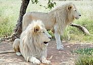 White Lion RSA