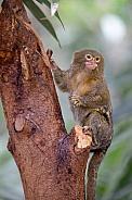 Pygmee tamarin (cebuella pygmaea)