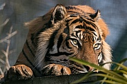 Sumatran Tiger Head On Paws
