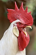White Leghorn Rooster Crowing