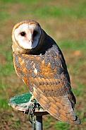 Barn Owl / Tyto alba