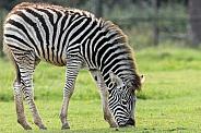 Chapman's Zebra Foal Grazing Full Body