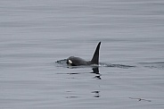 Orca (killer whale) in the North Atlantic (wild)