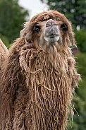 Bactrian Camel Front On Neck And Head Shot