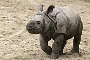 Greater One Horned Rhino Calf Full Body
