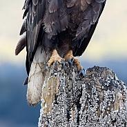 Bald Eagle Claws