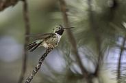 Male Broad-tailed Hummingbird in Colorado