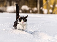 Black and White Cat in Snow