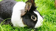 Lionhead domestic Rabbit