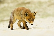Young fox focus