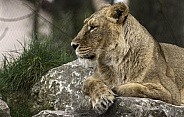 Asiatic Lion Side Profile