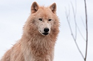 Arctic Wolf Sitting Upright