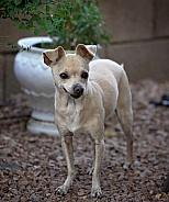 Adult Chihuahua