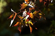 Autumn leaves backlit.