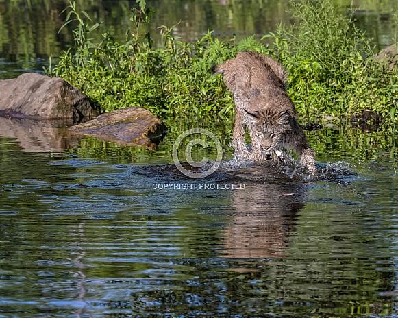 Fishing Canada Lynx