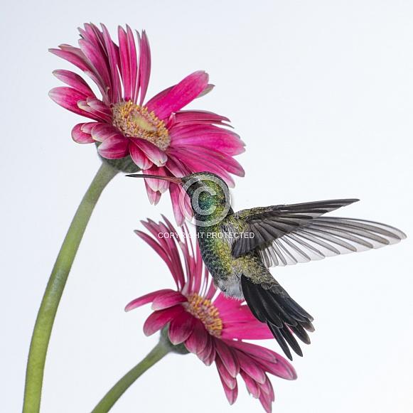 Broad-billed Hummingbird (wild male) & Gerber Daisy