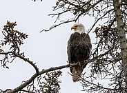 Bald eagle sitting in a tree on a branch