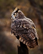Great Horned Owl Profile on Branch